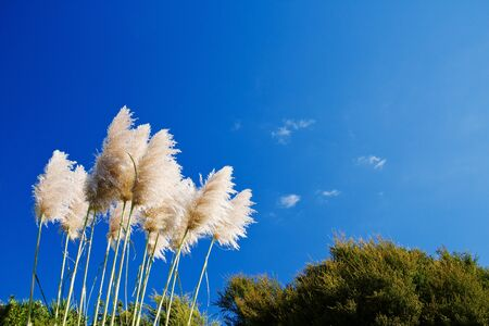 Pampas grass on the blue sky photo