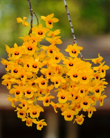 Nature yellow orchid Stock Photo - 13748104