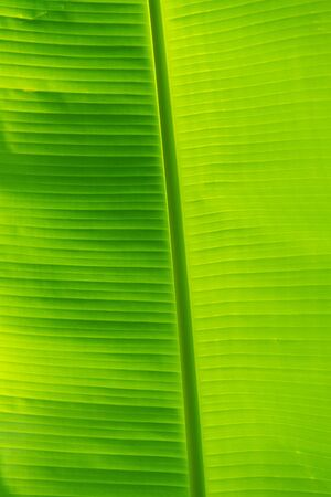 Fresh banana leaf with detail of leaf photo