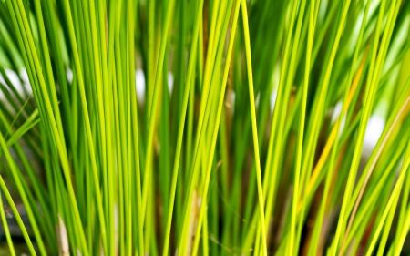 Papyrus green plant as background abstract photo