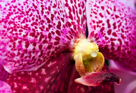 Close up view vibrant purple tropical orchid as texture   Venda
