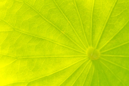 Close up of transparent lotus leaf as abstract texture and background photo