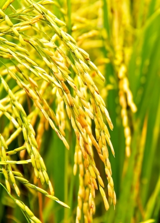 Close up of paddy rice plant ready for harvest Stock Photo