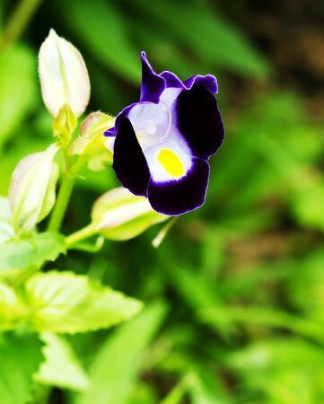 Close up view small purple with yellow flower, Torenia fournieri flower photo