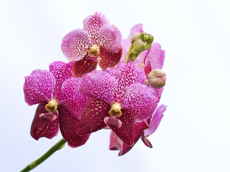 Vibrant purple tropical orchid isolated on white background   Venda
