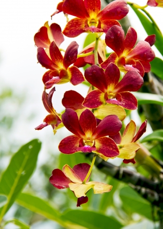 Vibrant red with yellow color tropical orchid Imagens