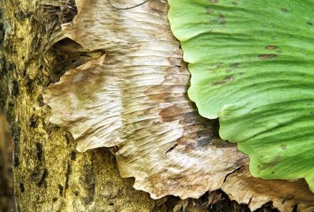 platycerium: Close up of Andinum fern two tone on tree as texture and background  Platycerium coronarium fern