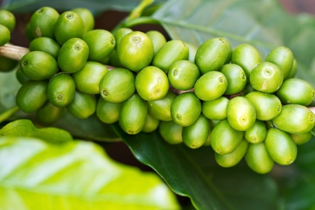 coffee tree: Coffee tree with green raw berries on the branch