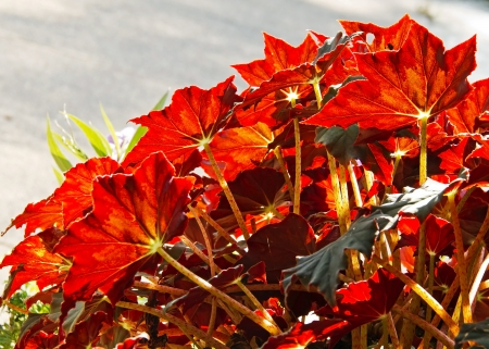 Sunlight on a group of young begonia plants with bronze leaves photo