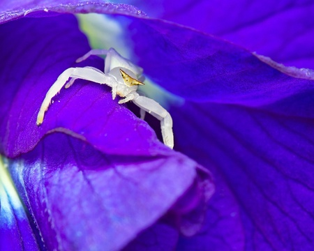 thomisidae: Macro shot of a white crab spider sitting on Butterfly Pea flower, Thomisidae