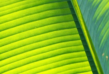 Detail of fresh and green banana leaf photo