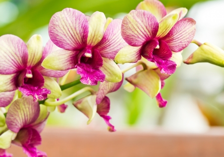 Vibrant pink with yellow color tropical orchid Imagens