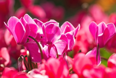 The bright cyclamen flower blooming in the park, close up view photo