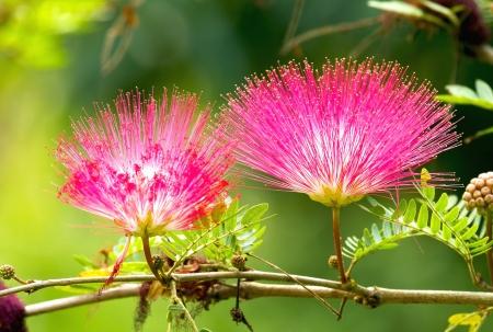 powder puff: Pink red powder puff flower blooming like dream Stock Photo