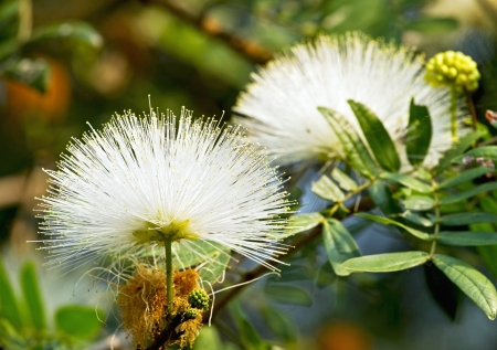 powder puff: White color of powder puff flower blooming like dream