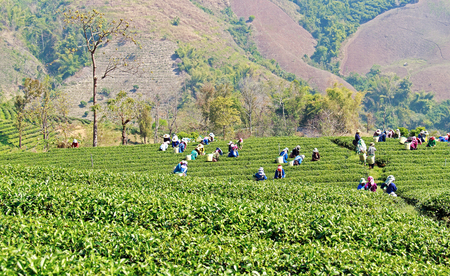 Local people working on tea field harvesting on nature background photo