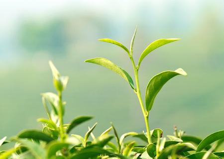 A fresh of young green tea leaf photo