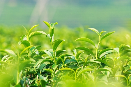 Cluster of young green tea leaf in tea field photo