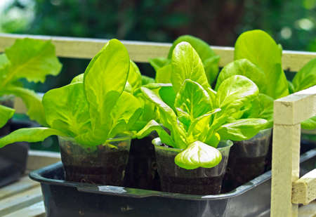 cos: Fresh green salad is grown in plastic pot and tray