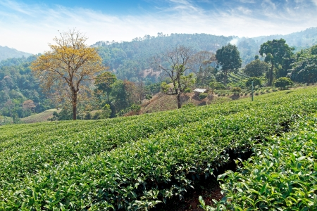 Tea field on nature background photo