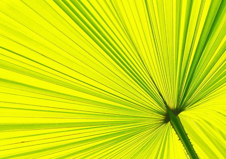 Close up of a Fan palm leaf pattern in the park photo