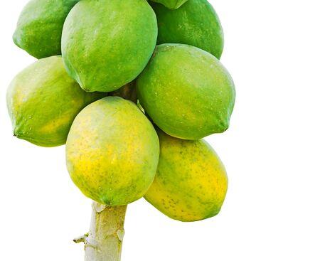 Ripe and raw Papaya fruits hanging on its tree photo