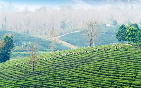 Local people working on tea field harvesting on nature  photo