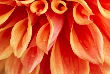 Beautiful orange Garden Dahlia flower macro as texture and  background (Dahlia hybrid, Compositae) photo