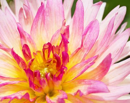 compositae: Beautiful pink Garden Dahlia flower (Dahlia hybrid, Compositae) Stock Photo