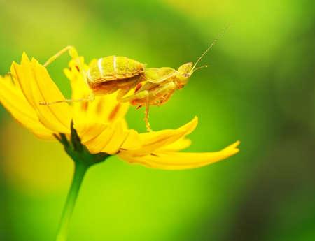 Macro of Flower Mantids setting on yellow Cosmos flower (Creobrother gemmatus Stoll, Hymenopodidae) photo