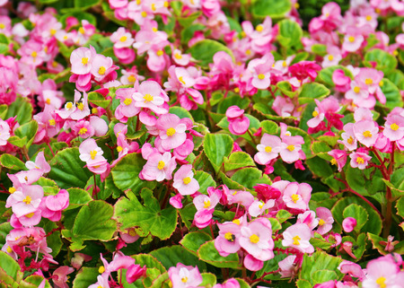 fibrous: Pink wax begonia or fibrous flower field as background Stock Photo