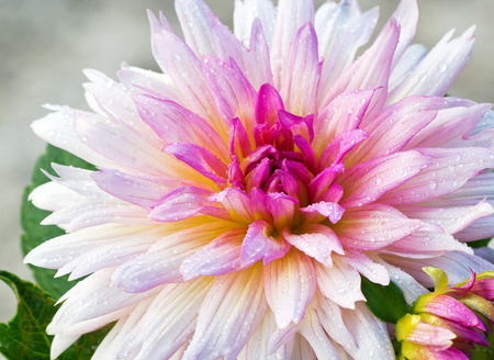 compositae: Close up of beautiful pink Garden Dahlia flower with raindrops (Dahlia hybrid, Compositae) Stock Photo