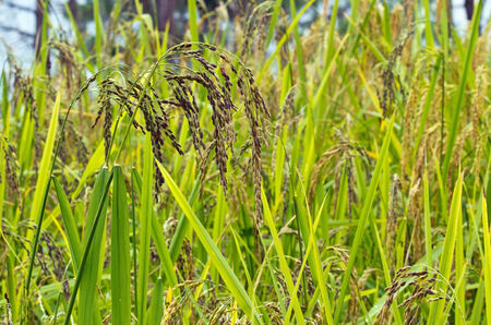 Close up of black color rice field ready for harvest photo