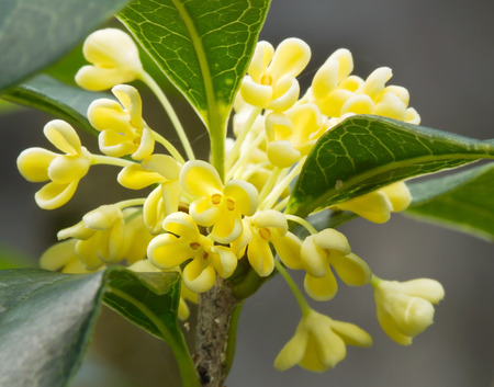 Group of Sweet osmanthus flower and leaves close up photo