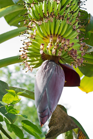 Bud and bananas bunch hanging on its tree photo