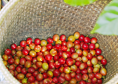 Red Coffee berries in bamboo basket photo