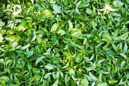 Group of green tea leaves  photo