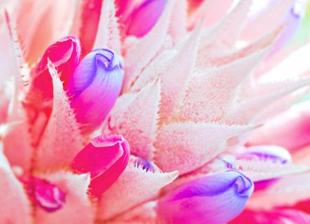 aechmea: Macro of Pink bromeliad flower in bloom in springtime  Aechmea fasciata, Bromeliaceae