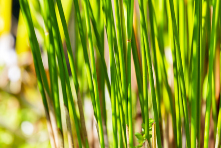 Stalks of papyrus green plant stand in line with sunlight background photo
