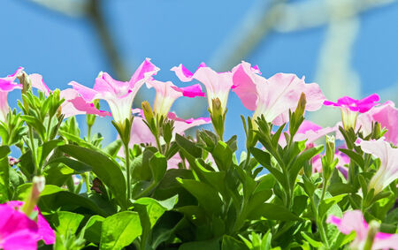 solanaceae: Pink flowers of petunias blossom in the park, rear view on blue sky (Petunia hybrida, Solanaceae)