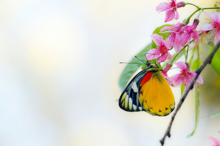 Pink cherry flowers with butterfly in spring time (Prunus cerasoides) photo