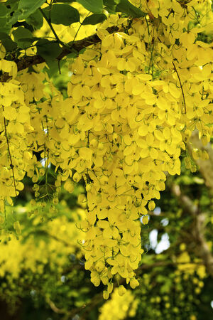 linn: Cassia flower or Indian laburnum or Golden shower tree blossom in summertime (Cassia fistula Linn)