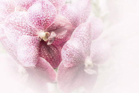 Elegant purple and white orchids in soft focus (Venda)