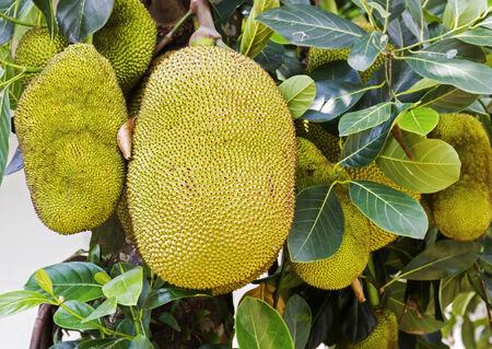 jack fruit: Many fresh jack fruit growing on its tree (Moraceae) Stock Photo