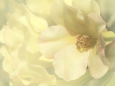 ericaceae: Macro shot of bright yellow Rhododendron flower in spring time (Ericaceae)