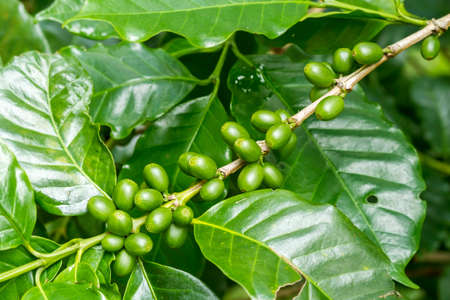 bush to grow up: Group of green coffee berries growing on branch Stock Photo