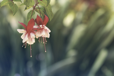 fuchsia: Close up of red pink fuchsia flower in botanical garden