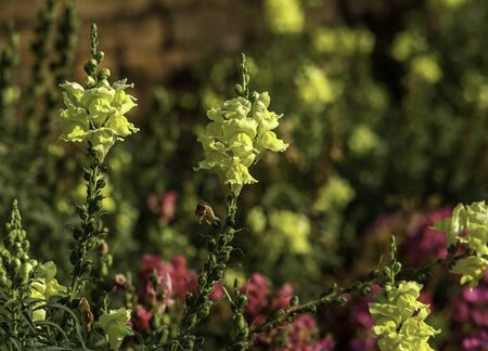yellow blossom: Closeup of Snapdragon yellow blossom in flowers garden Stock Photo