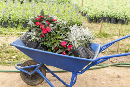 miller: hlox flowers and Dusty miller in plastic pots blossom and wheelbarrow in flower garden Stock Photo
