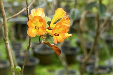 ericaceae: Primo piano di arancio brillante giallo Rhododendron fiore in primavera (Ericaceae)